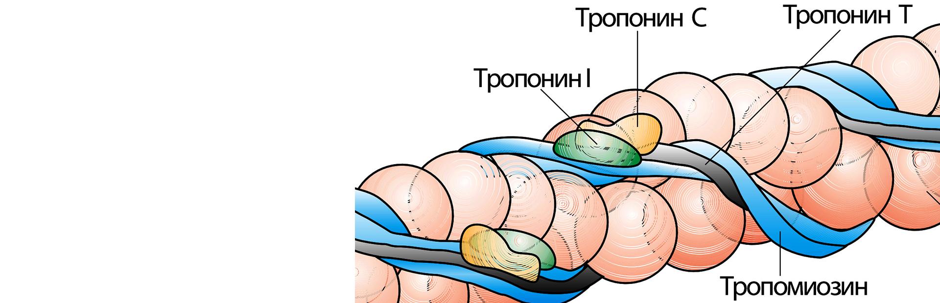 Кардиоспецифичные белки