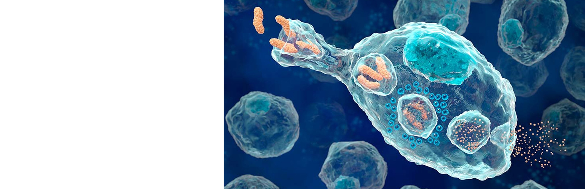 Оценка фагоцитоза